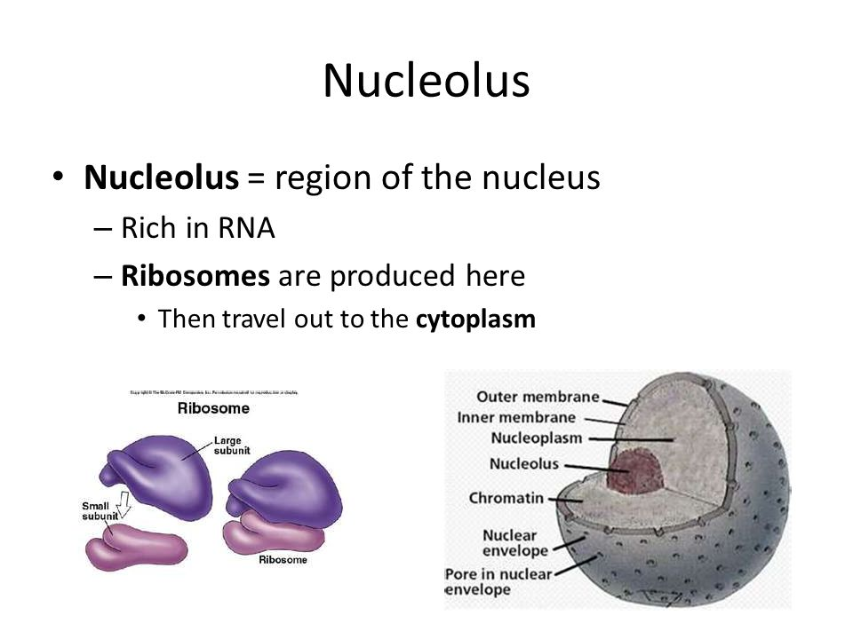 Nucleolus Nucleolus = region of the nucleus Rich in RNA