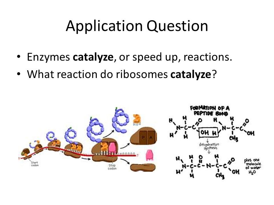 Application Question Enzymes catalyze, or speed up, reactions.