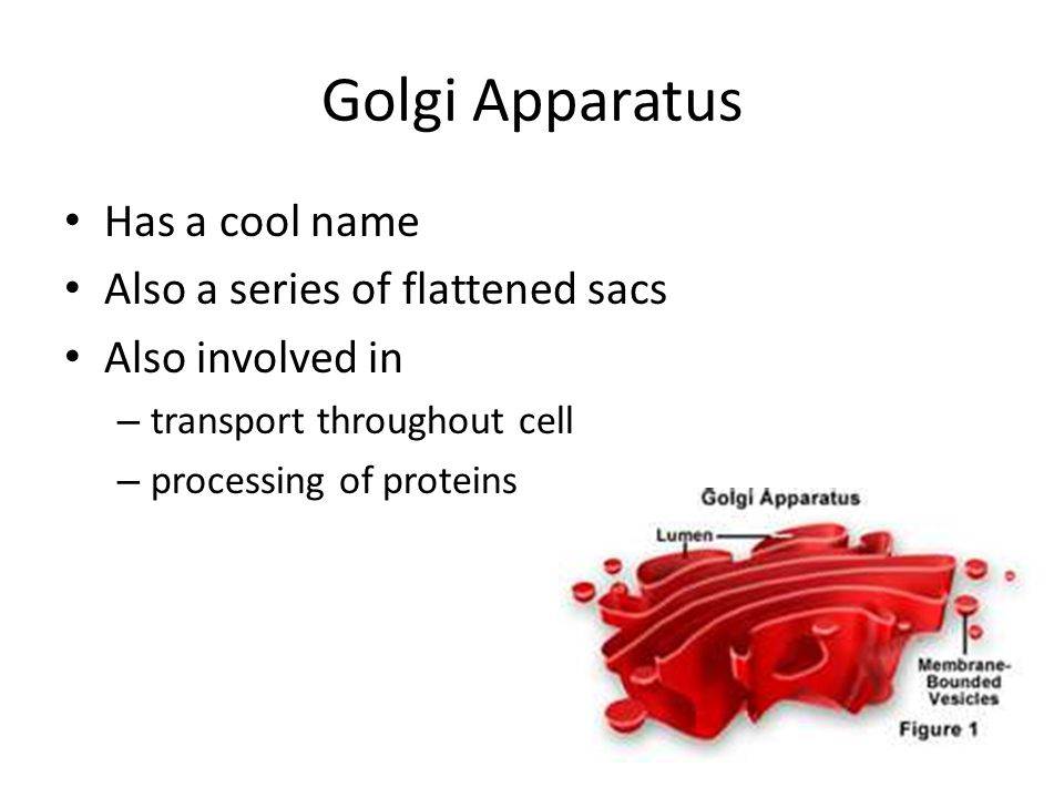 Golgi Apparatus Has a cool name Also a series of flattened sacs