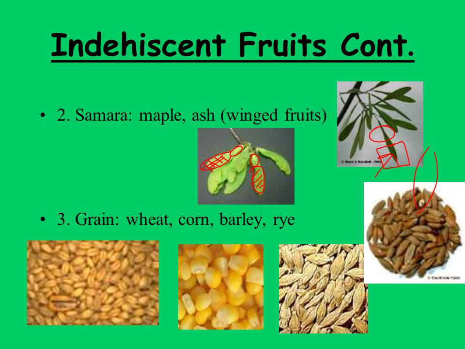 Indehiscent Fruits Cont.