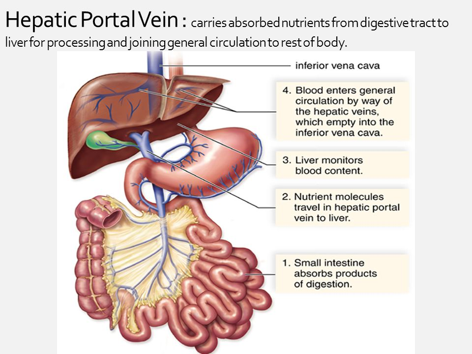 Hepatic Portal Vein : carries absorbed nutrients from digestive tract to liver for processing and joining general circulation to rest of body.