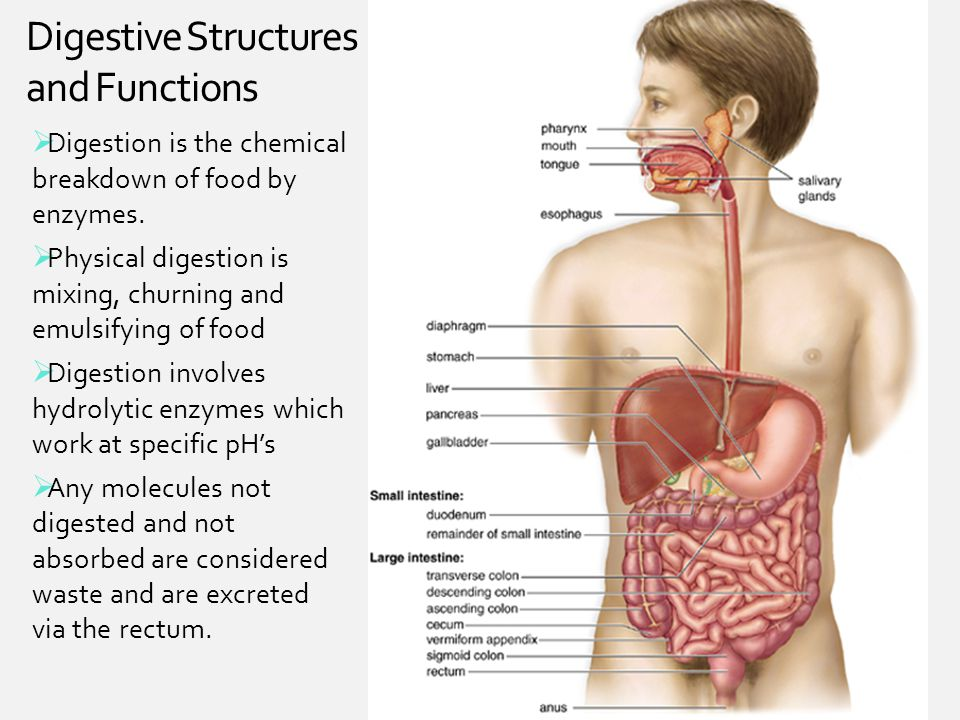 Digestive Structures and Functions