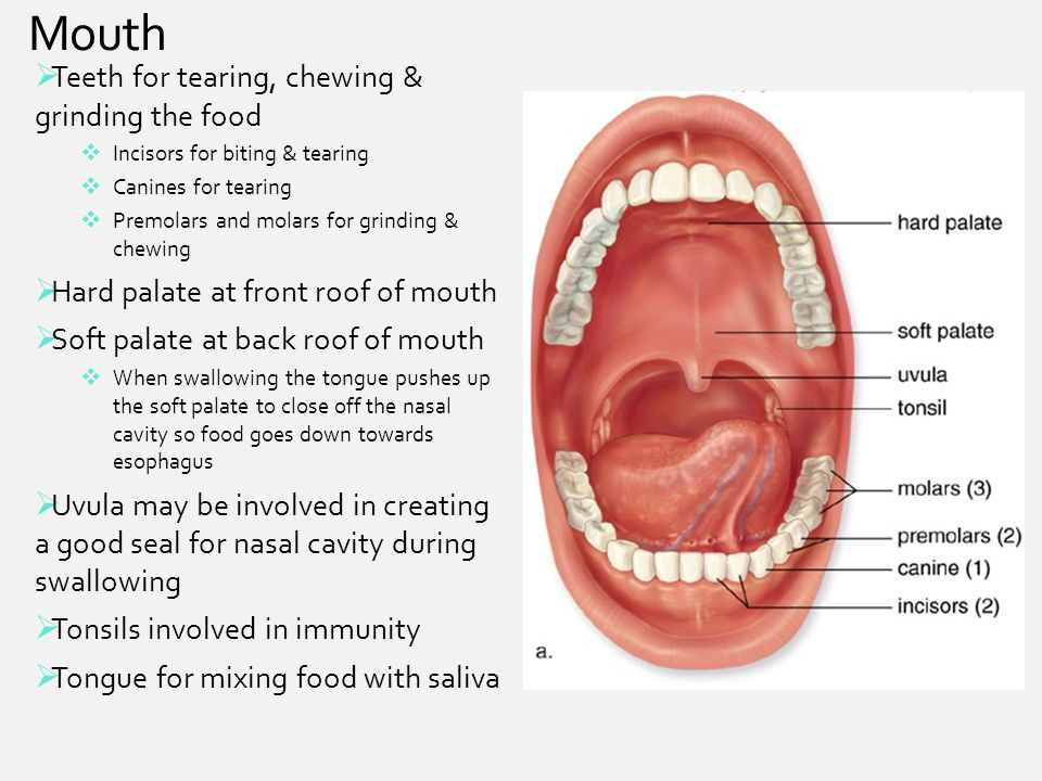 Mouth Teeth for tearing, chewing & grinding the food
