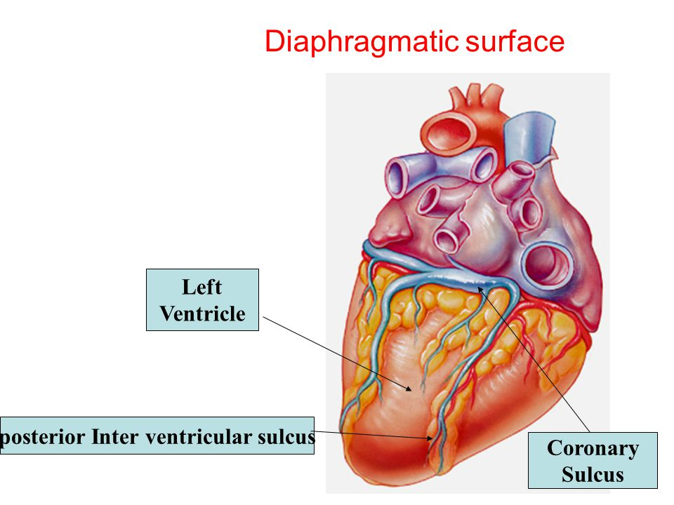 Circulatory System Cardiovascular system function: - ppt ...  Circulatory Sys...