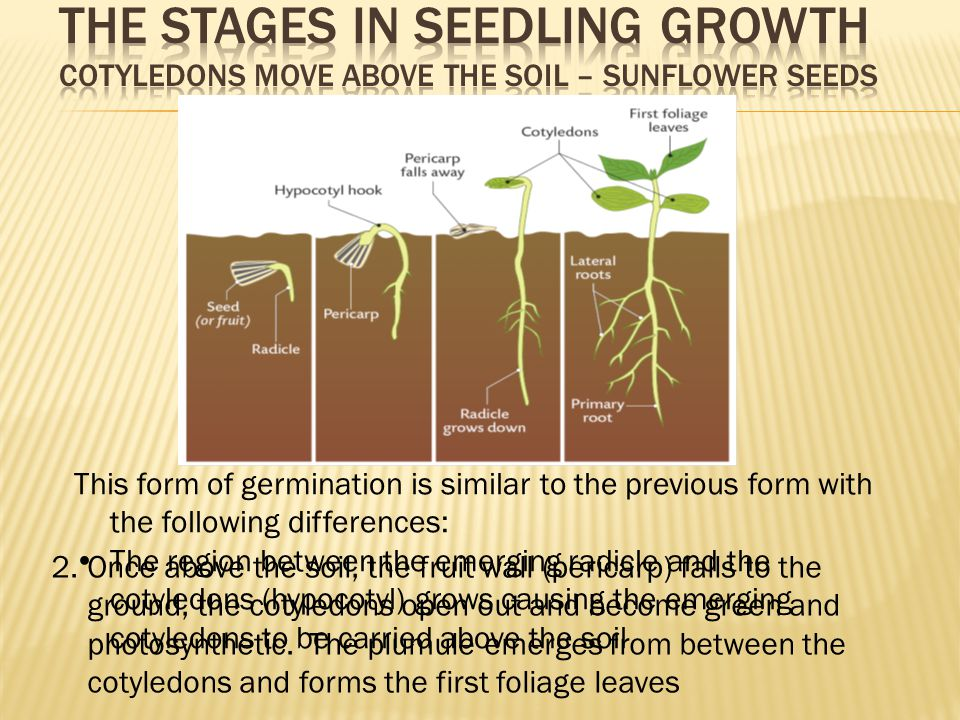 seed germination and seedling growth pdf