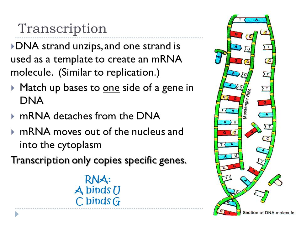Rna protein synthesis ppt video online download for What is a template in dna