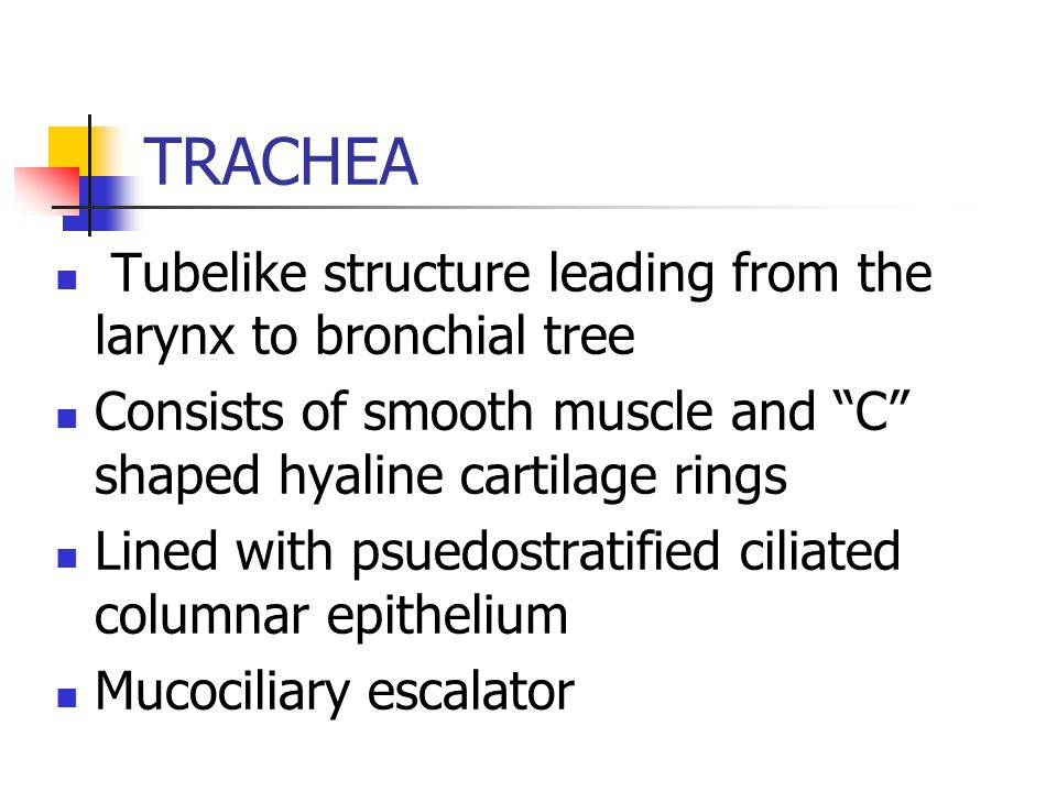 TRACHEA Tubelike structure leading from the larynx to bronchial tree