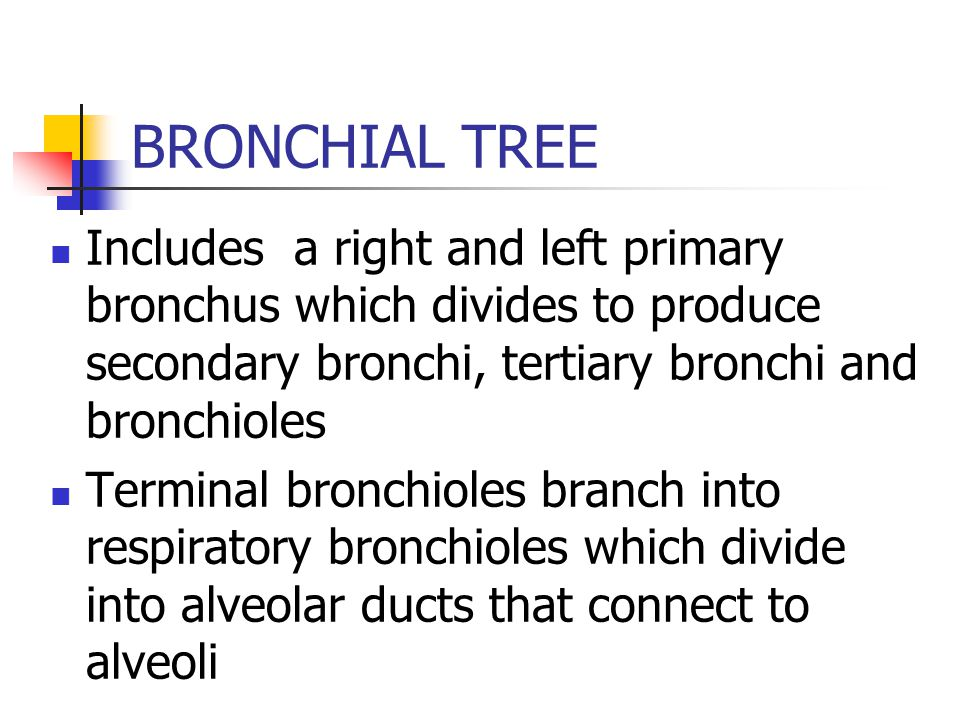 BRONCHIAL TREE Includes a right and left primary bronchus which divides to produce secondary bronchi, tertiary bronchi and bronchioles.