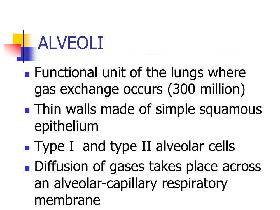 ALVEOLI Functional unit of the lungs where gas exchange occurs (300 million) Thin walls made of simple squamous epithelium.