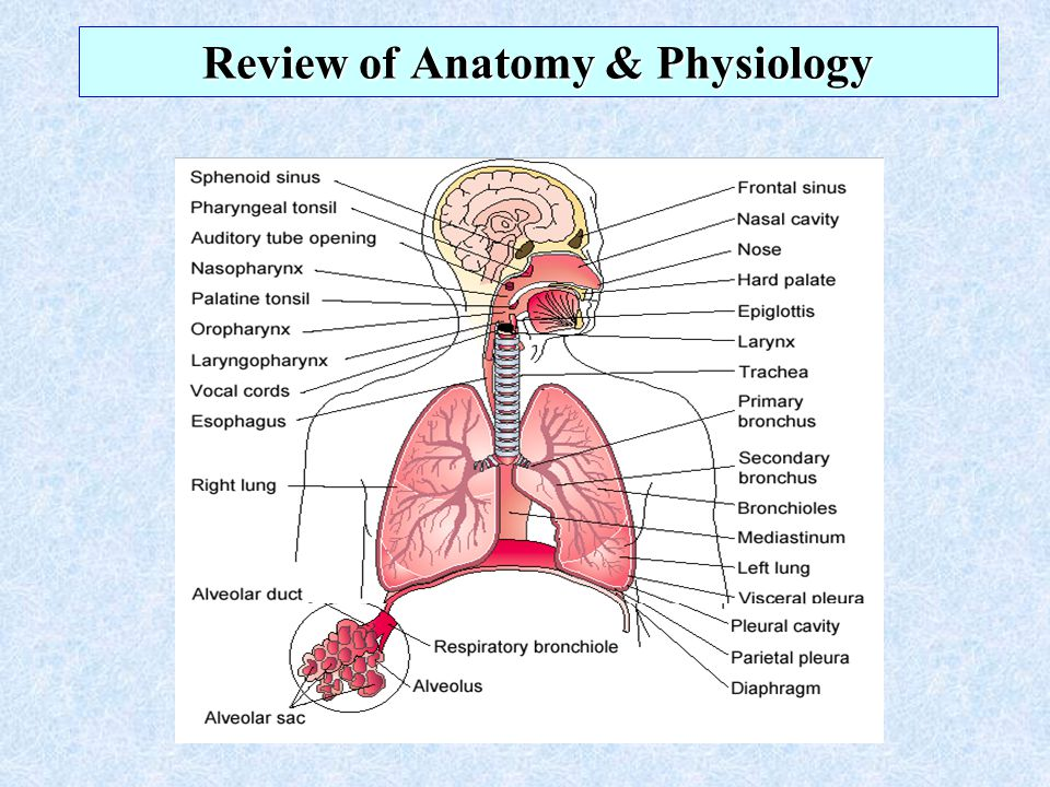 Vistoso Neonatal Respiratory System Anatomy And Physiology Adorno ...