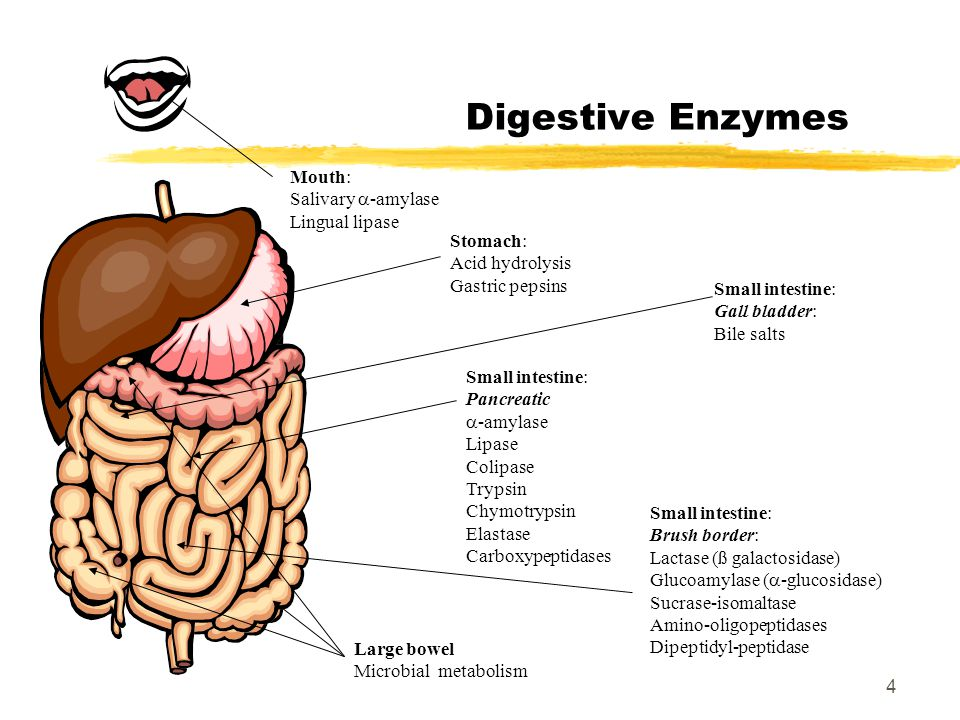 What Are the Functions of the Digestive Enzyme Amylase?