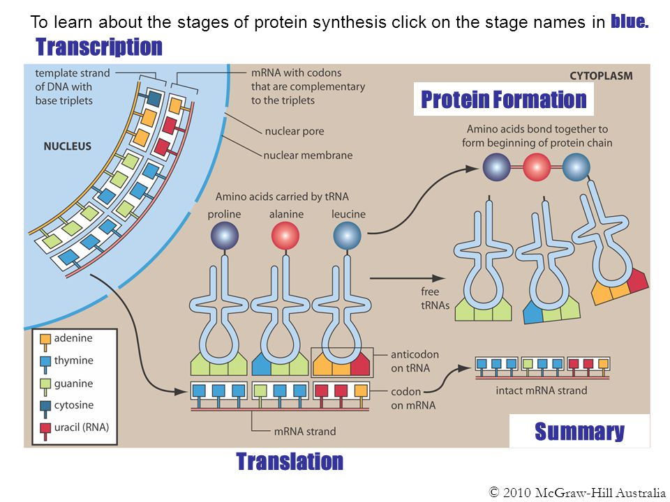 stages of protein synthesis 2018-08-04 translation process  the large subunit joins the small one to form a complete ribosome and the protein synthesis is initiated elongation  after translation the protein will usually undergo some further.