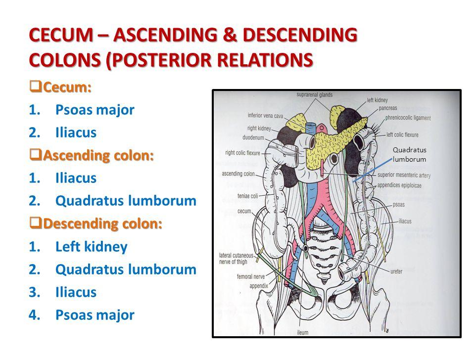 Quadratus lumborum anatomy