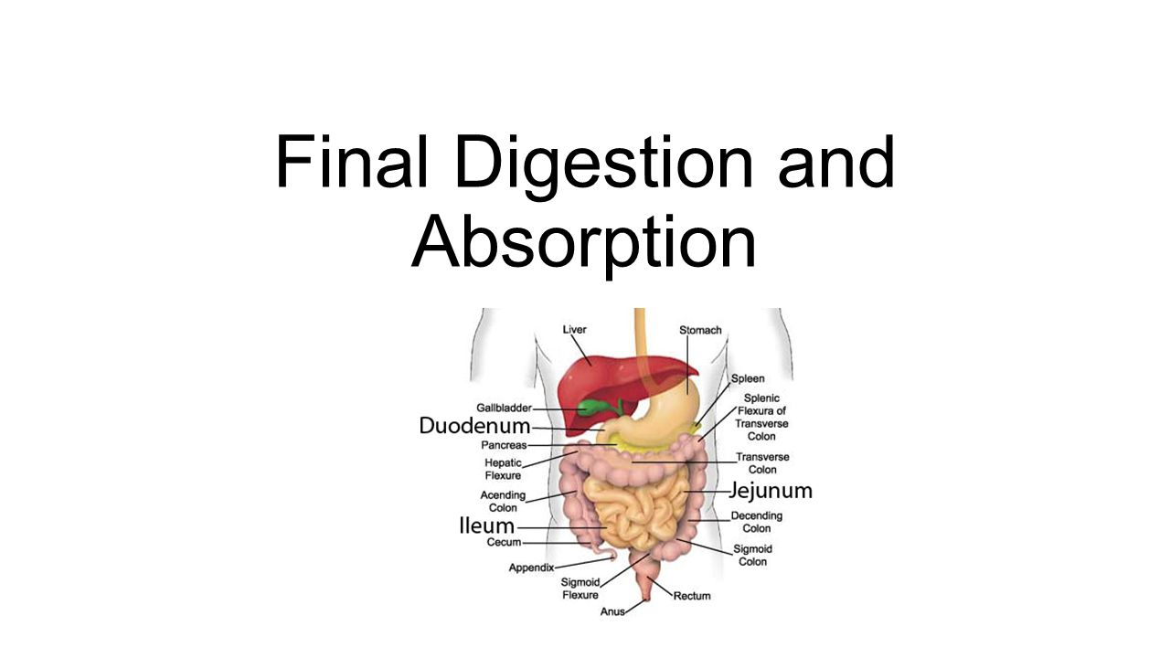 process digestion and absorption after eating hamburger Digestive system digestive systems take many forms there is a fundamental distinction between internal and external digestion external digestion developed earlier in evolutionary history, and most fungi still rely on it in this process, enzymes are secreted into the environment surrounding the organism, where they break down an organic material, and some of the products diffuse back to the.