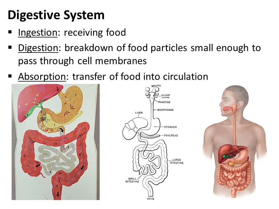 Nett Anatomy And Physiology Digestive System Notes Bilder ...