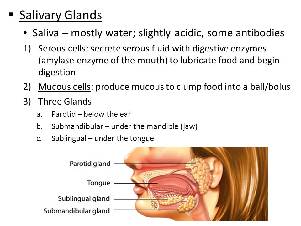 Image Gallery of Digestive System Mouth Salivary Glands