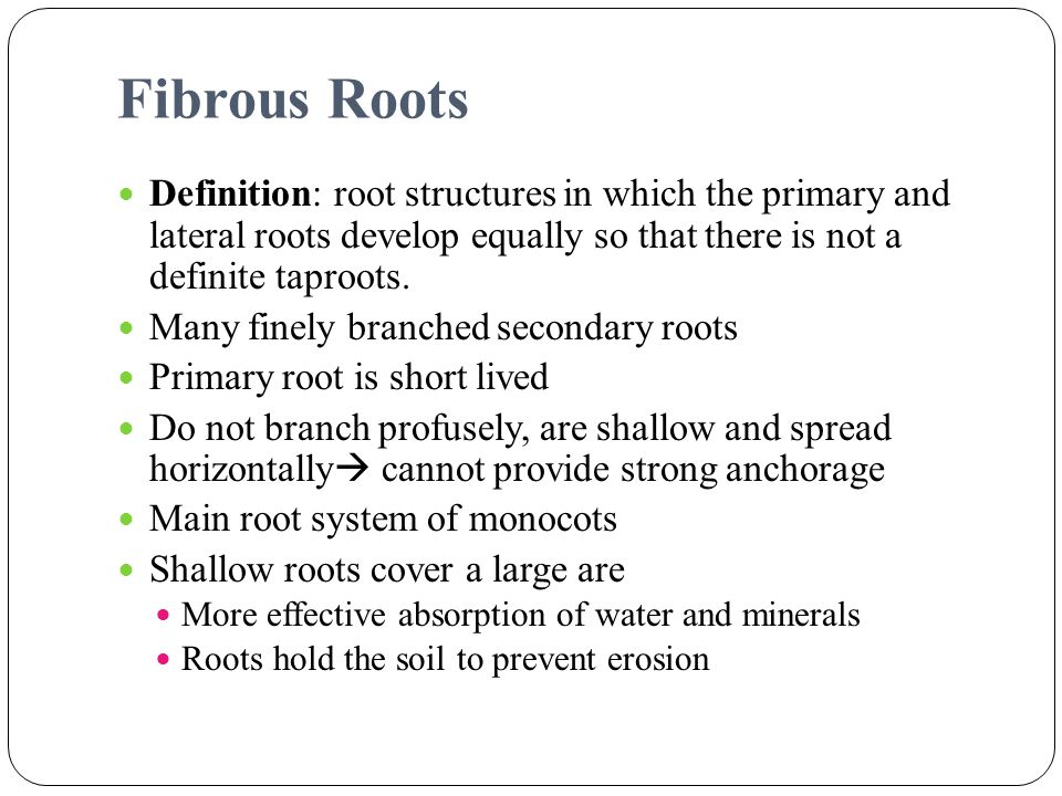 Fibrous Roots Definition: root structures in which the primary and lateral roots develop equally so that there is not a definite taproots.