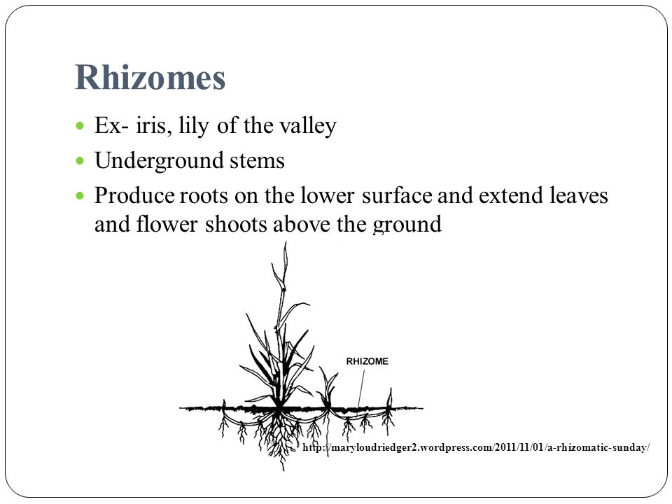 Rhizomes Ex- iris, lily of the valley Underground stems