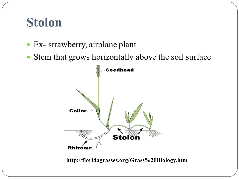 Stolon Ex- strawberry, airplane plant