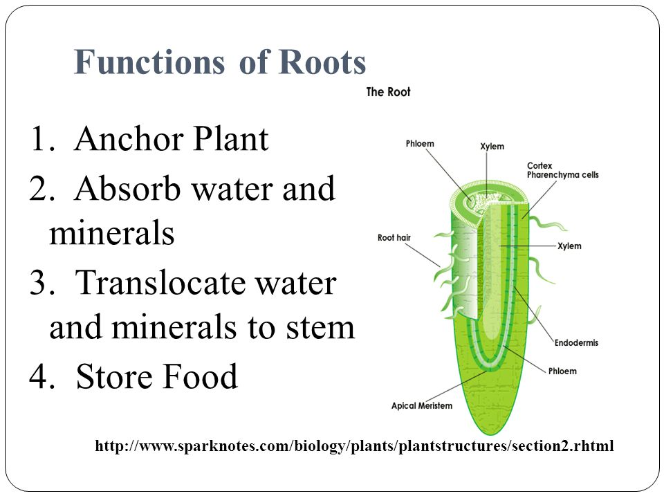 Functions of Roots 1. Anchor Plant 2. Absorb water and minerals 3. Translocate water and minerals to stem 4. Store Food
