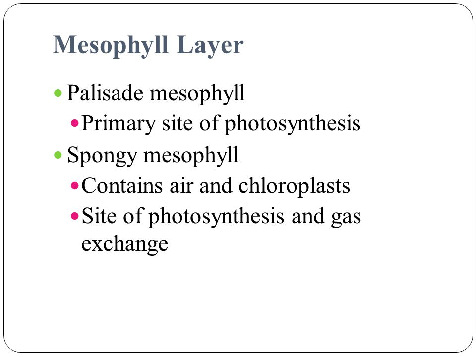 Mesophyll Layer Palisade mesophyll Primary site of photosynthesis