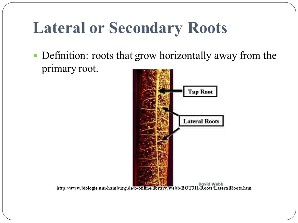 Lateral or Secondary Roots
