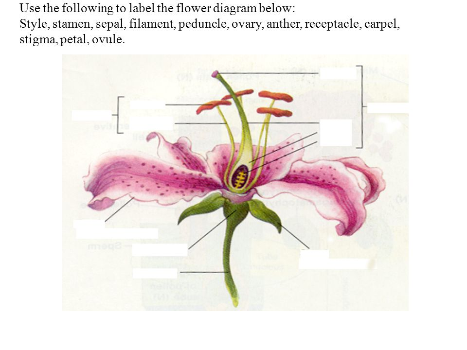 Use the following to label the flower diagram below ppt video use the following to label the flower diagram below ccuart Choice Image