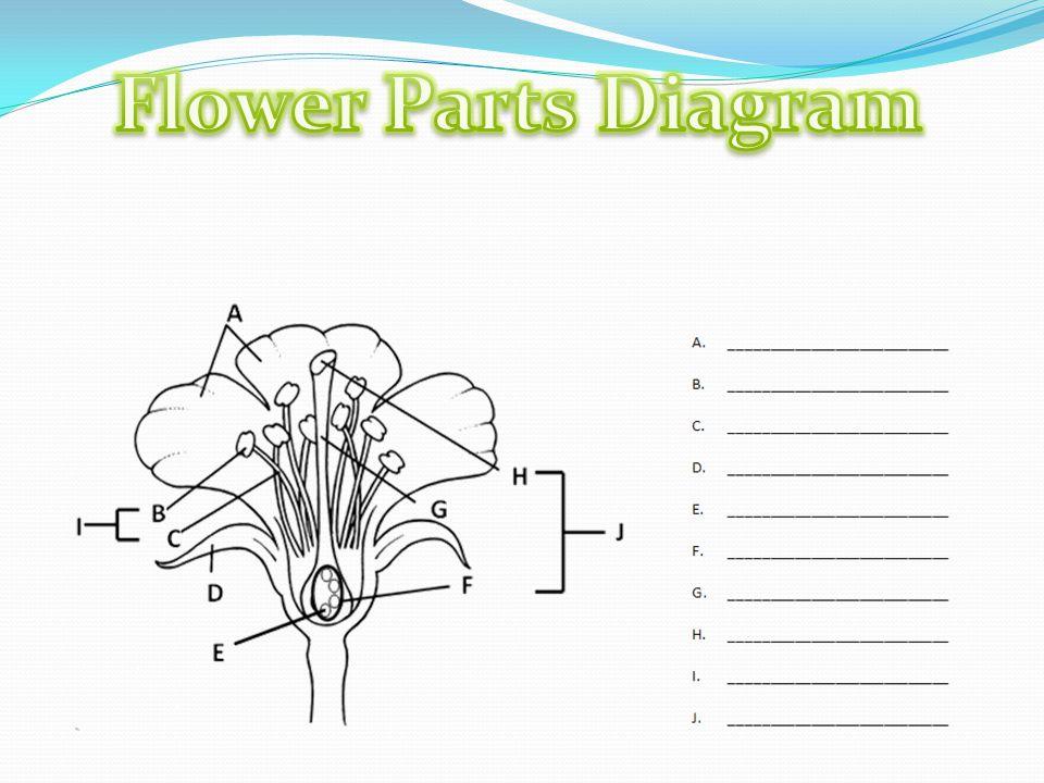 Flower parts diagram ppt video online download ccuart Choice Image