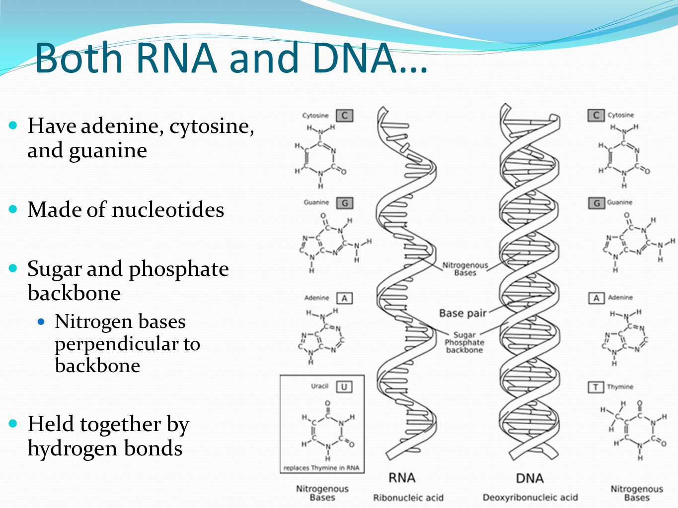 dna and rna c c What c it stands for deoxyribonucleic acid dna is made up of a c g & t acgt stands for the four nucleic acid bases that make up dna the a stands for adenine and pairs with the t, which stands for thymine.