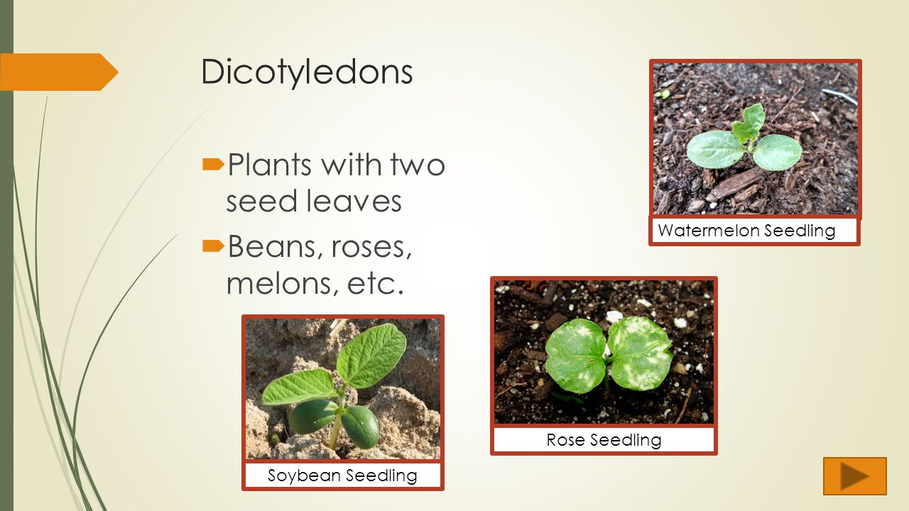 dicot plants have two seed leaves Species with one cotyledon are called monocotyledonous (monocots) plants with two embryonic leaves are termed dicotyledonous (dicots) and placed in the class magnoliopsida in the case of dicot seedlings whose cotyledons are photosynthetic, the cotyledons are functionally similar to leaves.