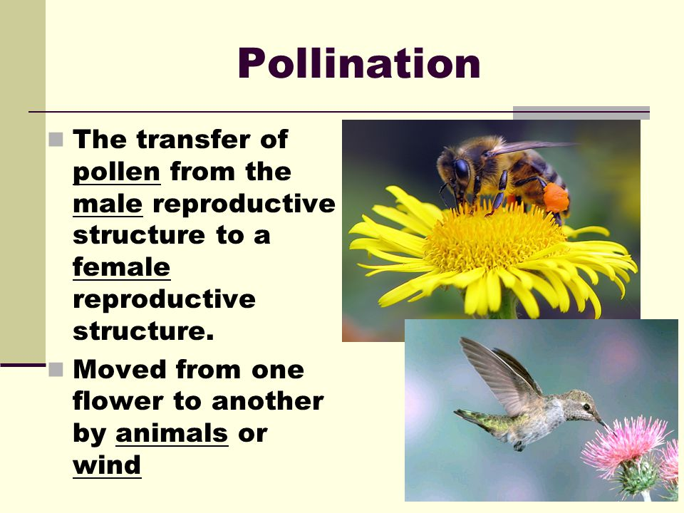 Pollination The transfer of pollen from the male reproductive structure to a female reproductive structure.