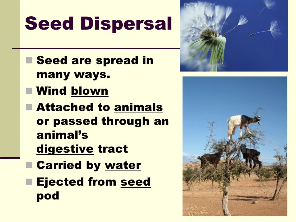 Seed Dispersal Seed are spread in many ways. Wind blown