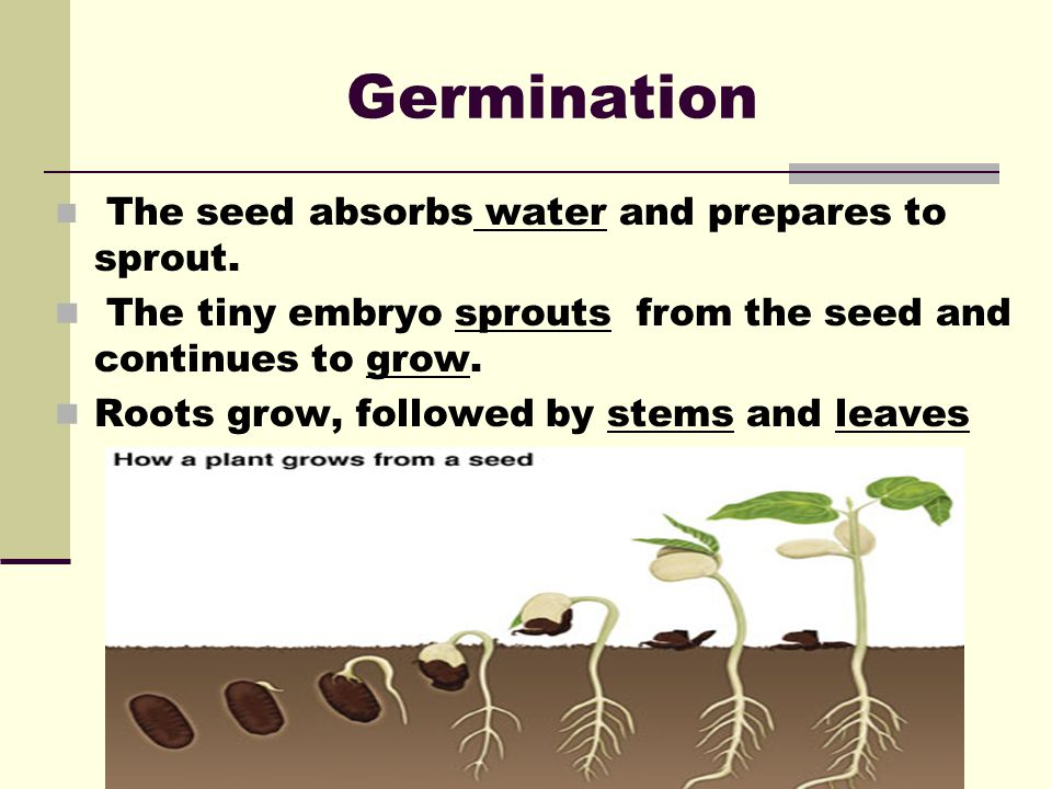 Germination The seed absorbs water and prepares to sprout. The tiny embryo sprouts from the seed and continues to grow.