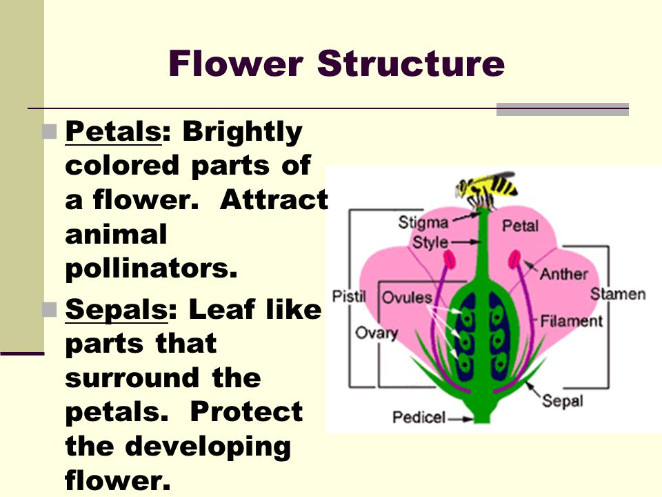 Flower Structure Petals: Brightly colored parts of a flower. Attract animal pollinators.
