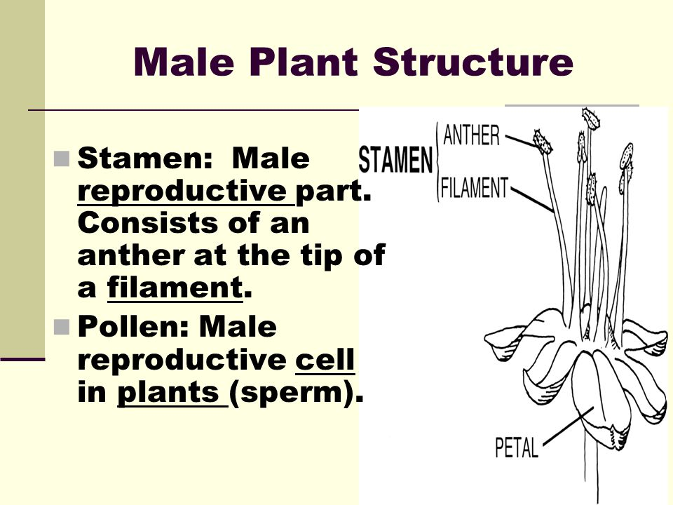 Male Plant Structure Stamen: Male reproductive part. Consists of an anther at the tip of a filament.