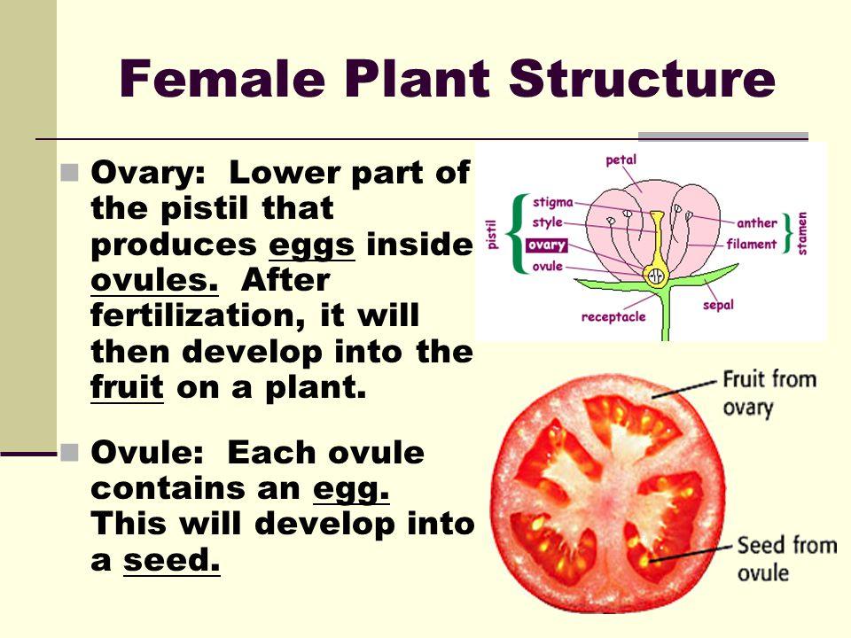 Female Plant Structure