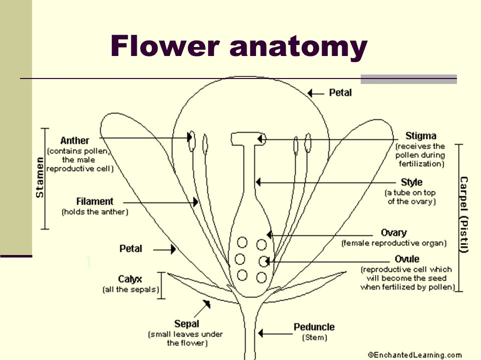 Reproduction and structure notes ppt video online download 9 flower anatomy ccuart Choice Image