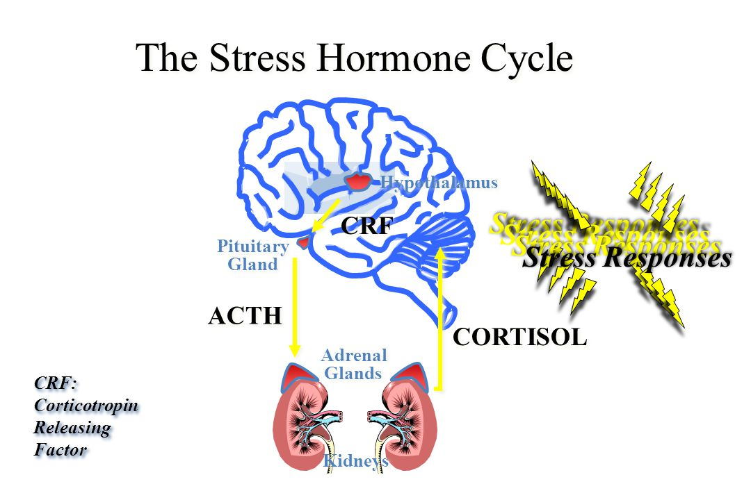 cortisol the stress hormone Commonly known as the stress hormone, cortisol is a steroid hormone that's produced in the adrenal gland and then released into the bloodstream when we feel stressed.
