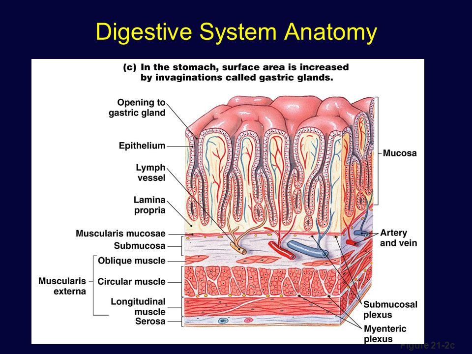 Digestive tract anatomy
