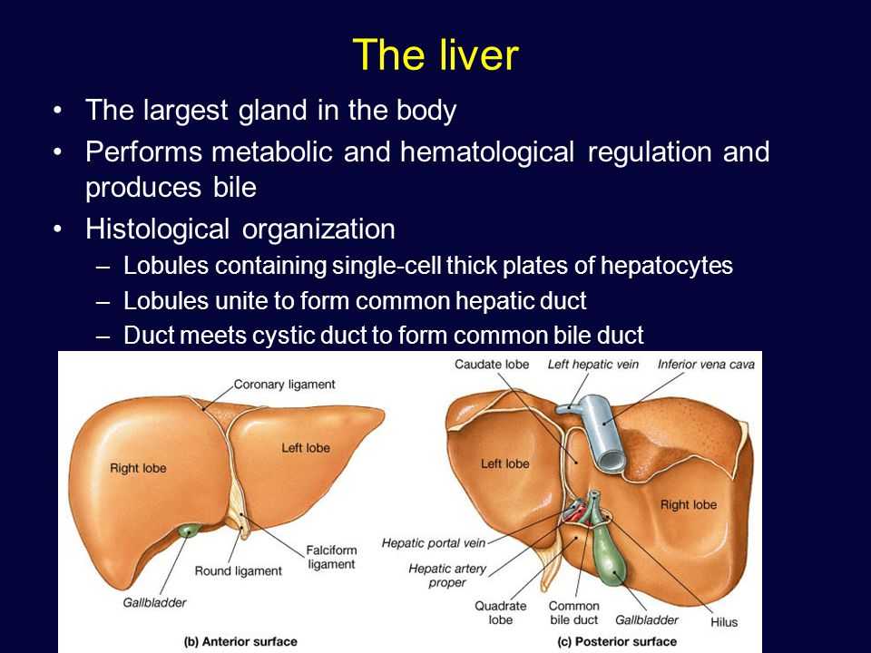 liver is the largest gland The liver the liver is the largest gland associated with the alimentary tract it is situated in the abdominal cavity beneath the diaphragm it receives blood from 2 sources: a) the portal vein that carries.