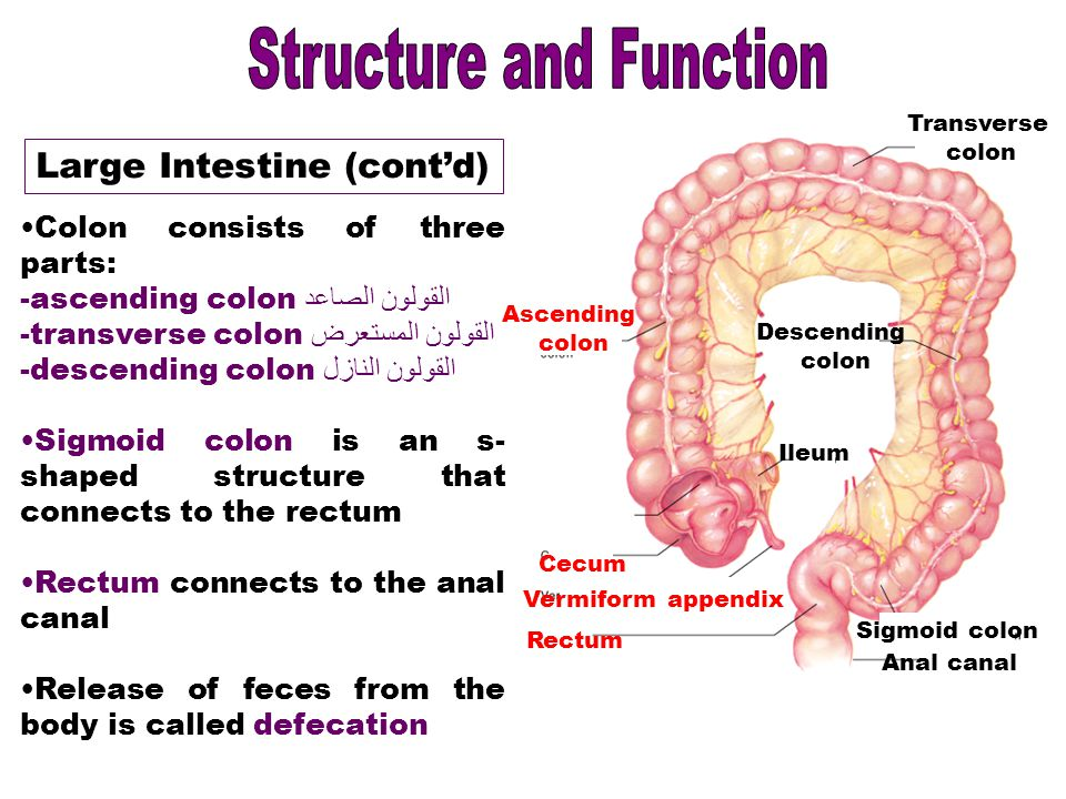 structure in the sigmoid colon