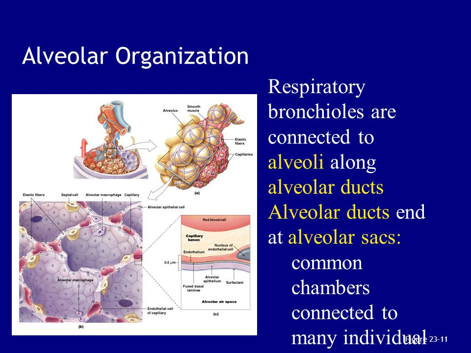 Chapter 23: The Respiratory System Biol 141 A & P - ppt ...