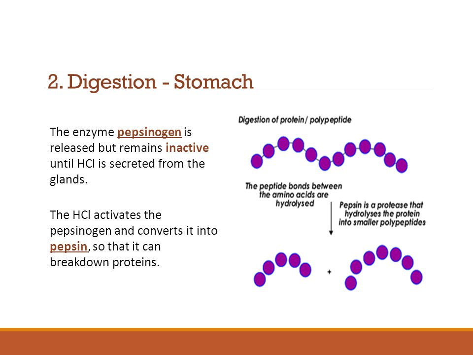 2. Digestion - Stomach The enzyme pepsinogen is released but remains inactive until HCl is secreted from the glands.