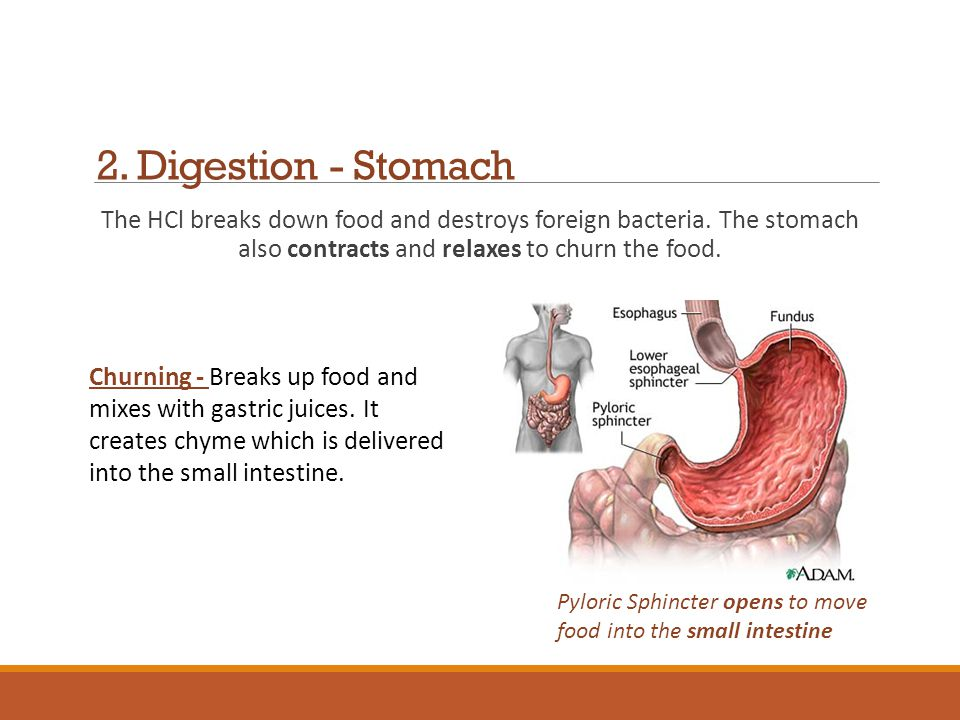 2. Digestion - Stomach The HCl breaks down food and destroys foreign bacteria. The stomach also contracts and relaxes to churn the food.