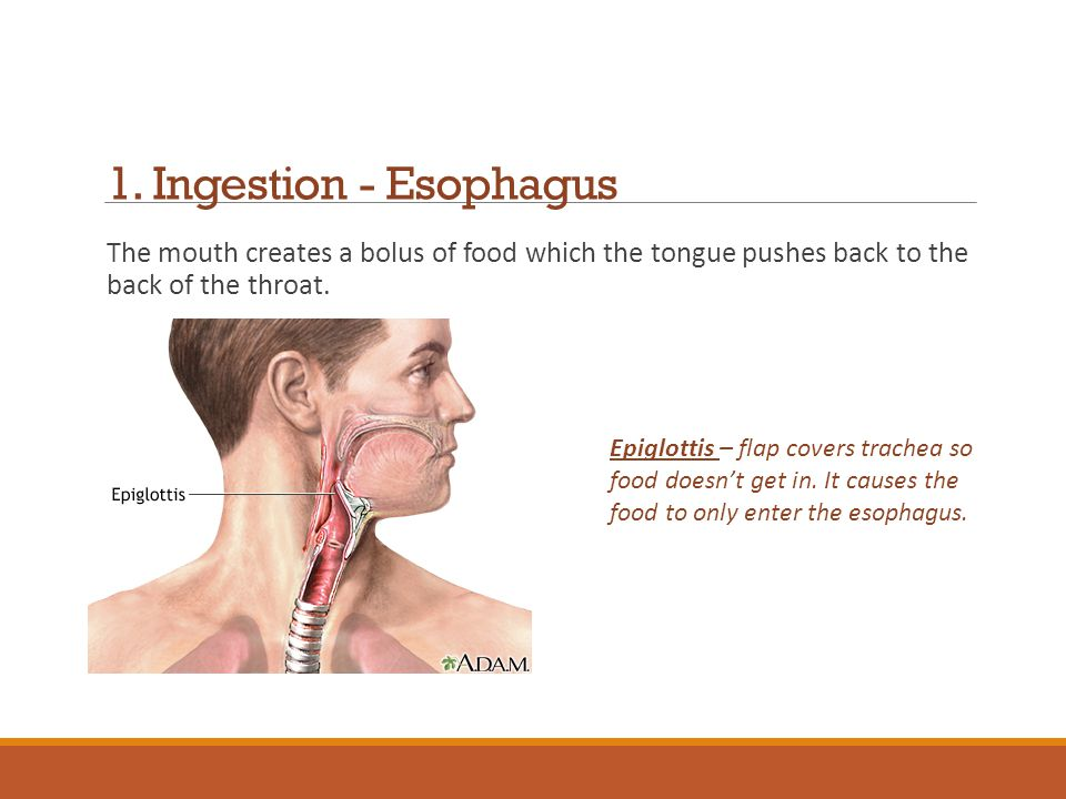 1. Ingestion - Esophagus The mouth creates a bolus of food which the tongue pushes back to the back of the throat.