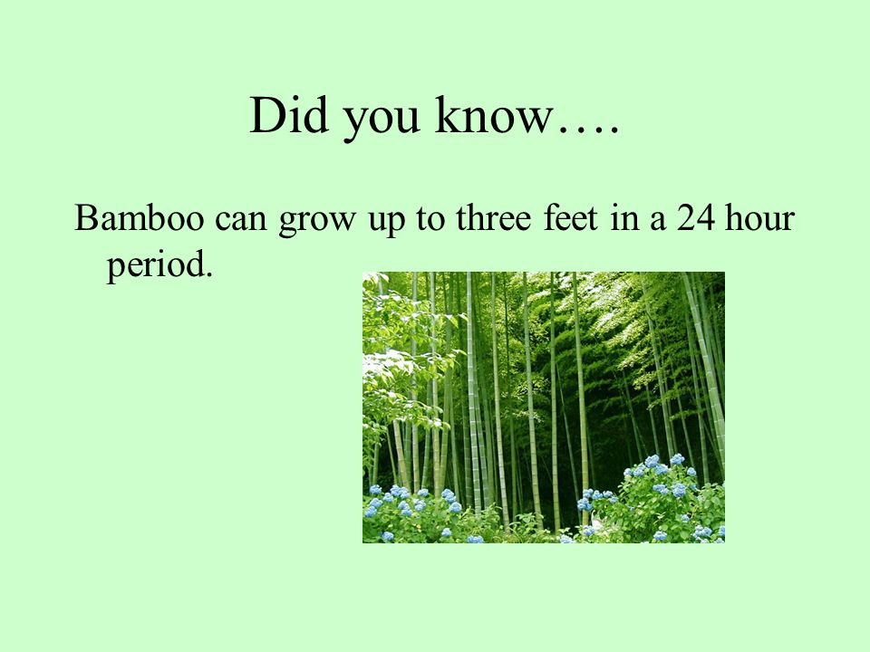 Did you know…. Bamboo can grow up to three feet in a 24 hour period.