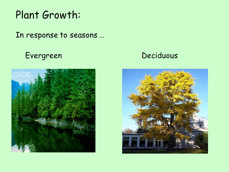 Plant Growth: In response to seasons … Evergreen Deciduous