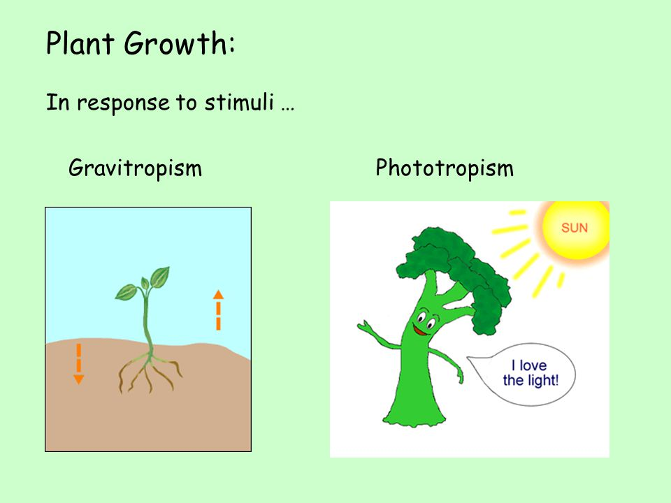 Plant Growth: In response to stimuli … Gravitropism Phototropism