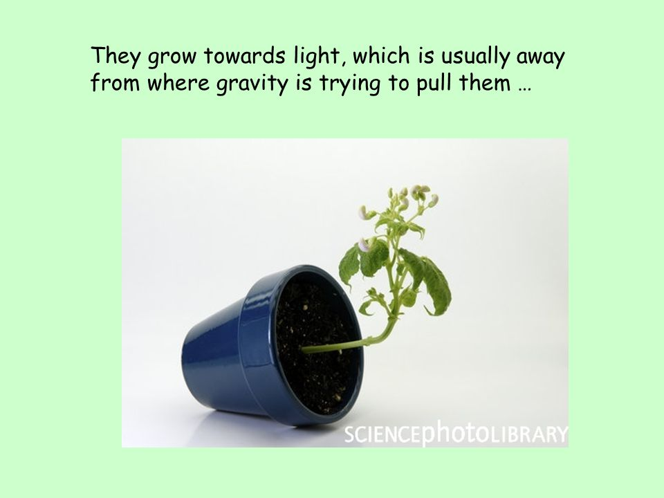 They grow towards light, which is usually away from where gravity is trying to pull them …