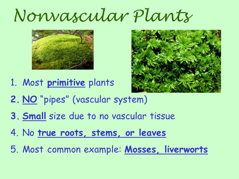 Nonvascular Plants Most primitive plants NO pipes (vascular system)